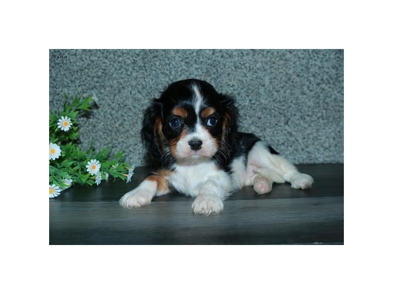 Cavalier King Charles Spaniel-Male-Black White / Tan-2813507-The Barking Boutique