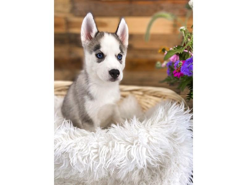 Siberian Husky-Female-Black / White-2813505-The Barking Boutique