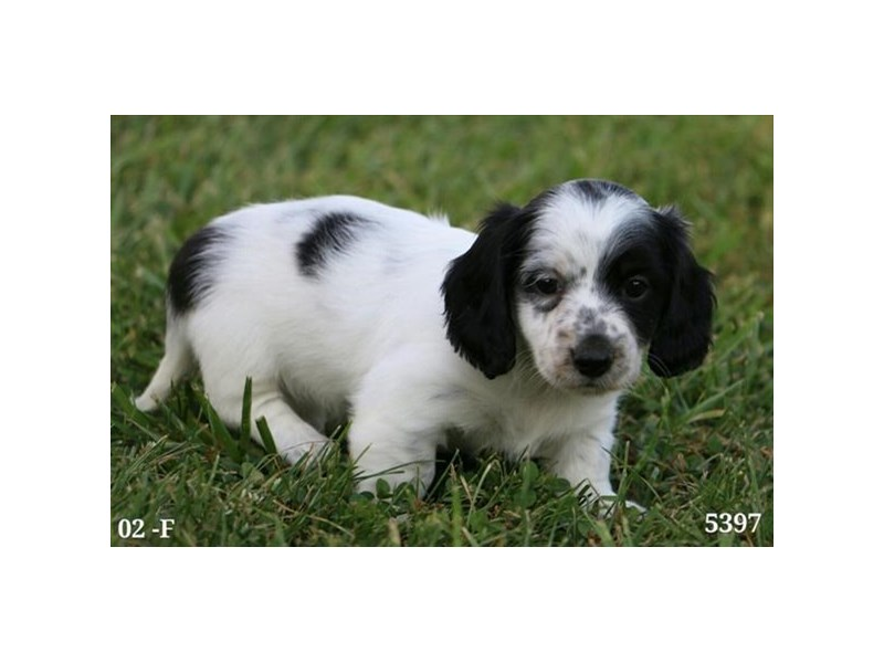 Dachshund-Female-Black / White-2822116-The Barking Boutique