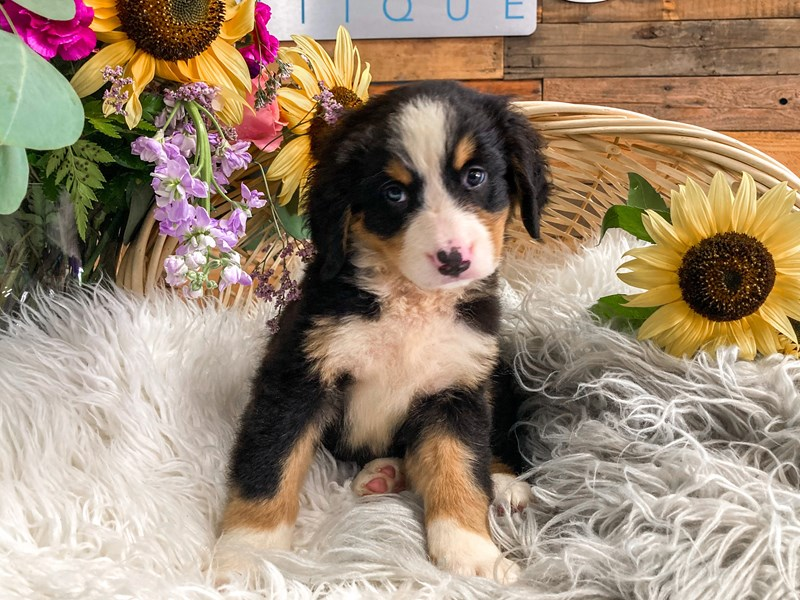 Bernese Mountain Dog-Female-Tri-Colored-2822117-The Barking Boutique