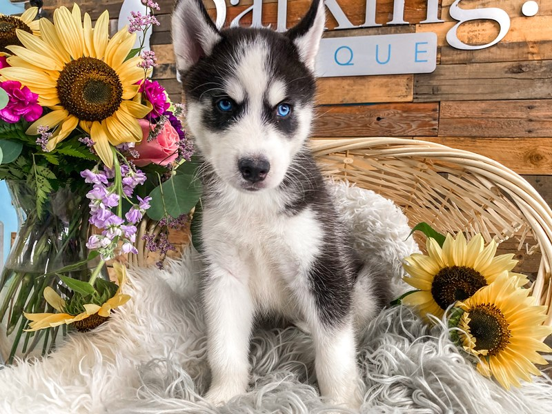 Siberian Husky-Male-Black / White-2821923-The Barking Boutique