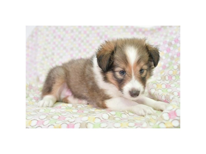 Shetland Sheepdog-Male-Sable Merle-2806050-The Barking Boutique