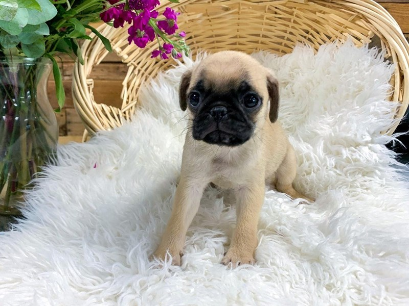 Pug-Male-Fawn-2806037-The Barking Boutique