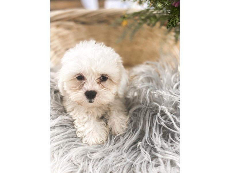 Shipoo-Male-Cream-2810774-The Barking Boutique