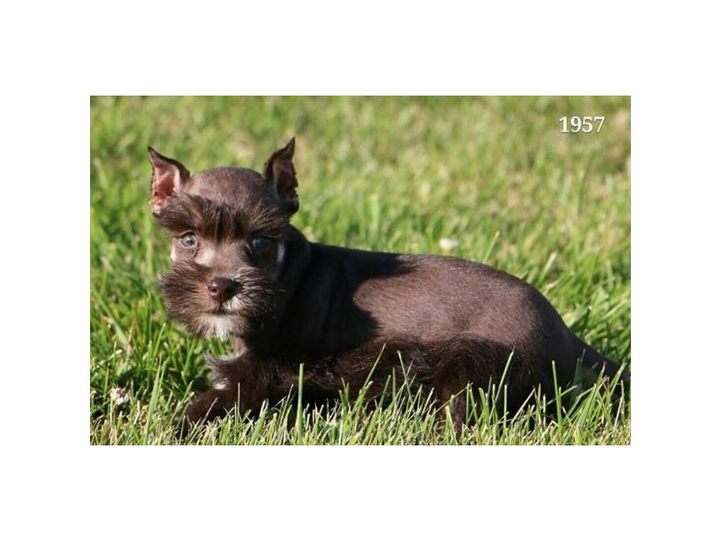 Miniature Schnauzer-Male-Chocolate / Tan-2813517-The Barking Boutique