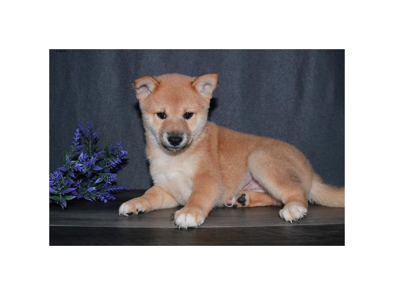 Shiba Inu-Male-Red-2821924-The Barking Boutique