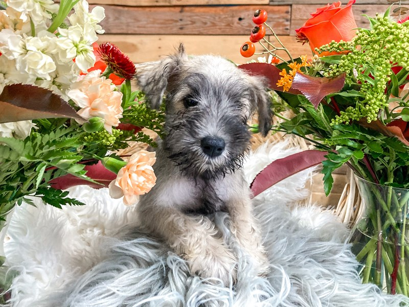 Mini Schnauzer-Female-Dark Salt and Pepper-2826316-The Barking Boutique