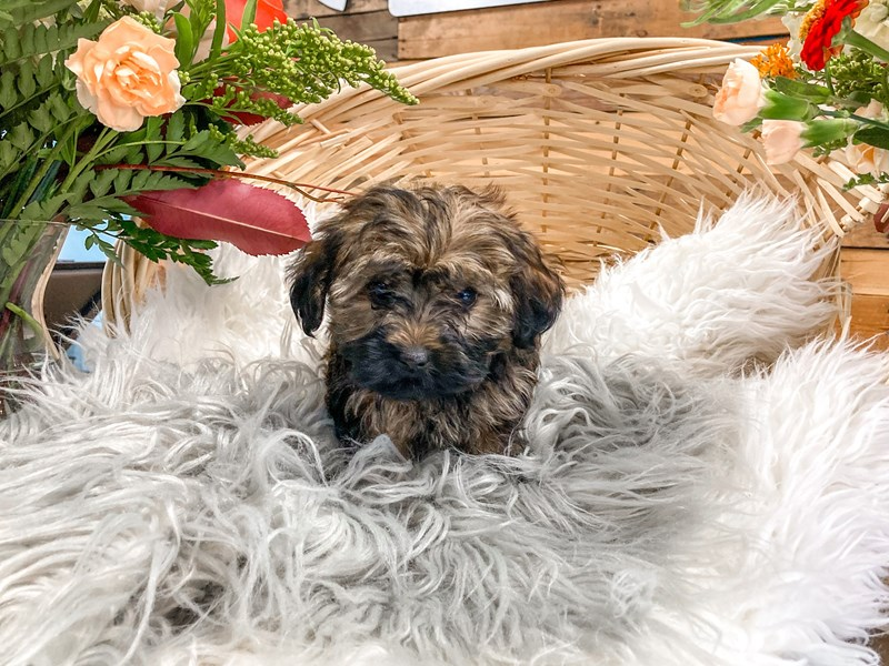 Yorkipoo-Female--2826347-The Barking Boutique