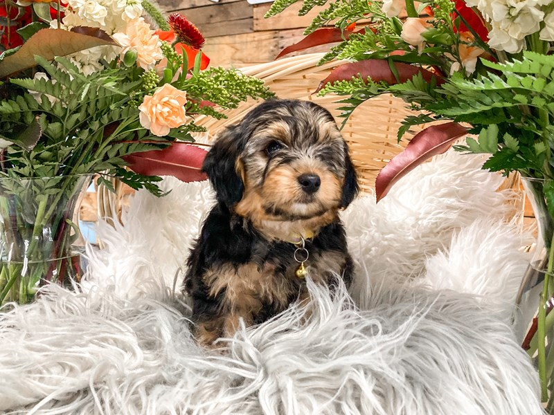 Yorkipoo-Male--2826358-The Barking Boutique