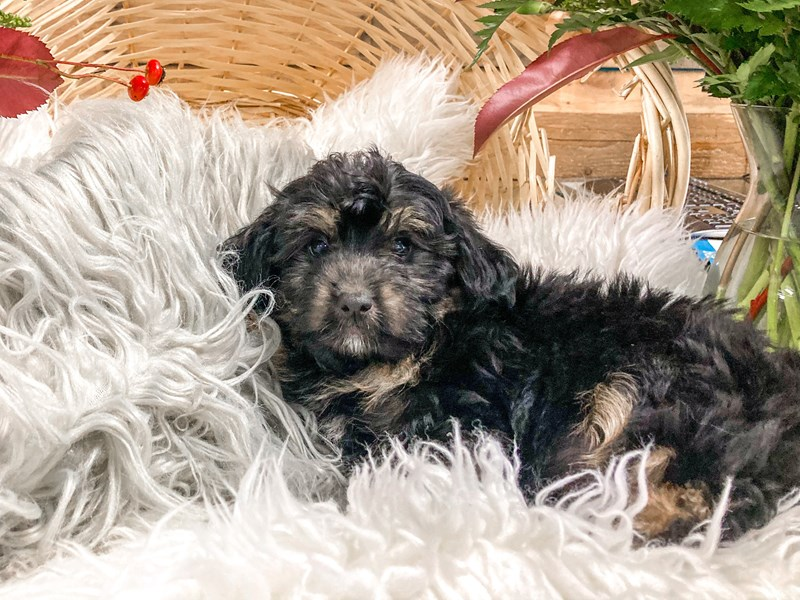 Yorkipoo-Male--2826365-The Barking Boutique