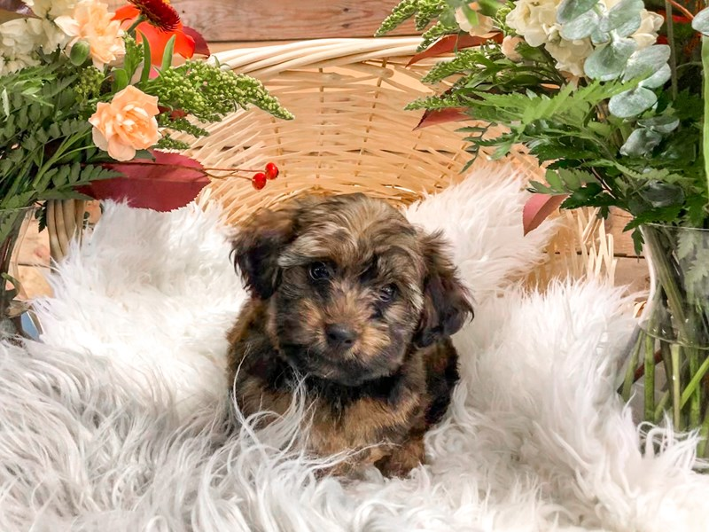 Yorkipoo-Male--2826357-The Barking Boutique