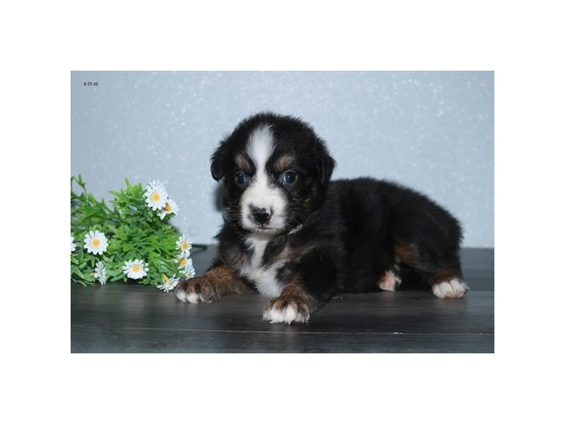 Australian Shepherd-Female-Black White / Tan-2829590-The Barking Boutique