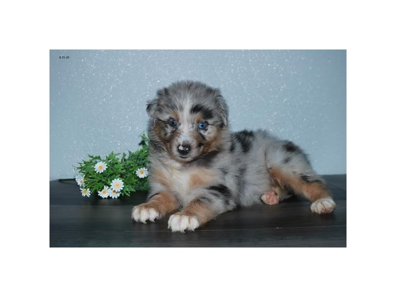 Australian Shepherd-Male-Blue Merle-2829591-The Barking Boutique