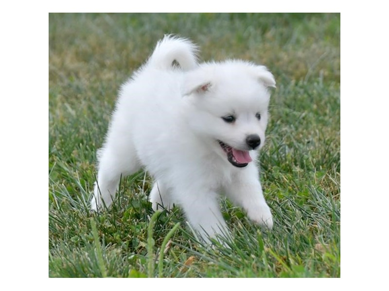 American Eskimo Dog-Male-White-2829592-The Barking Boutique