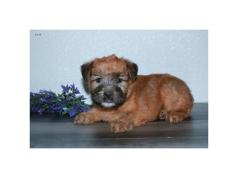 Soft Coated Wheaten Terrier-Male-Wheaten-2829595-The Barking Boutique