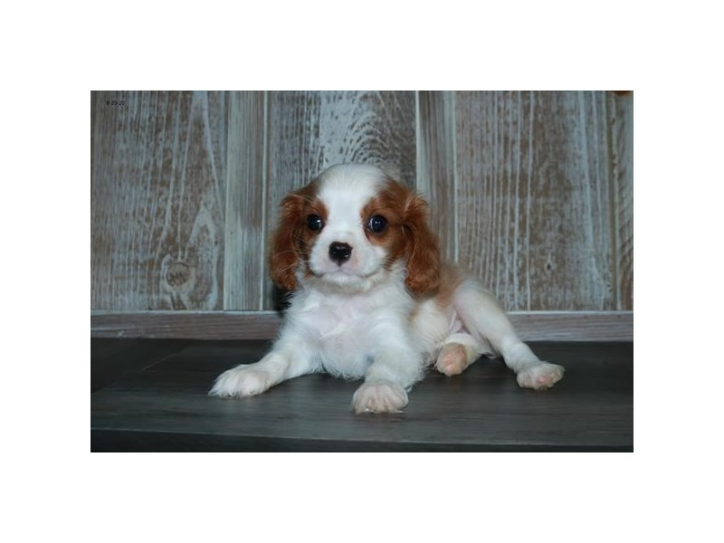 Cavalier King Charles Spaniel-Male-Blenheim-2829596-The Barking Boutique
