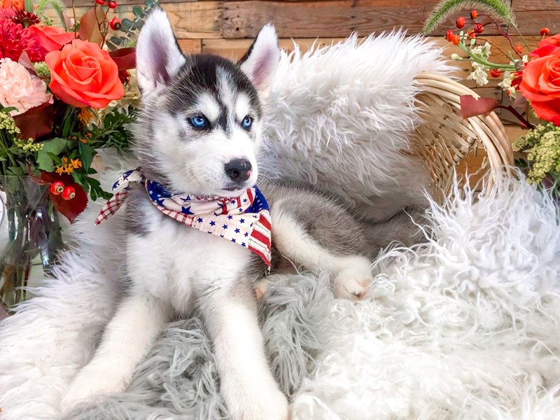 Siberian Husky-Male-Black / White-2829599-The Barking Boutique