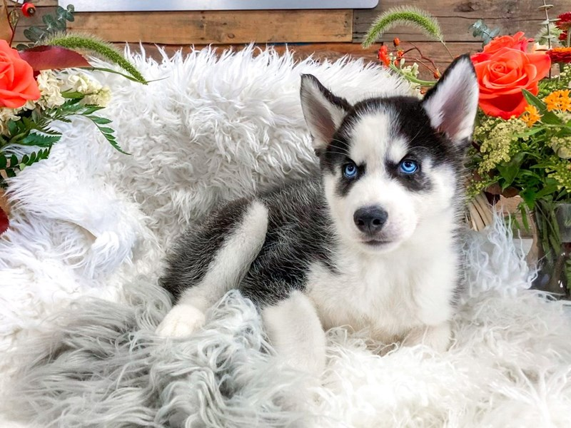 Siberian Husky-Male-Black / White-2829598-The Barking Boutique