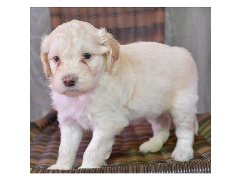 F1B Mini Goldendoodle-Male-Cream-2836458-The Barking Boutique