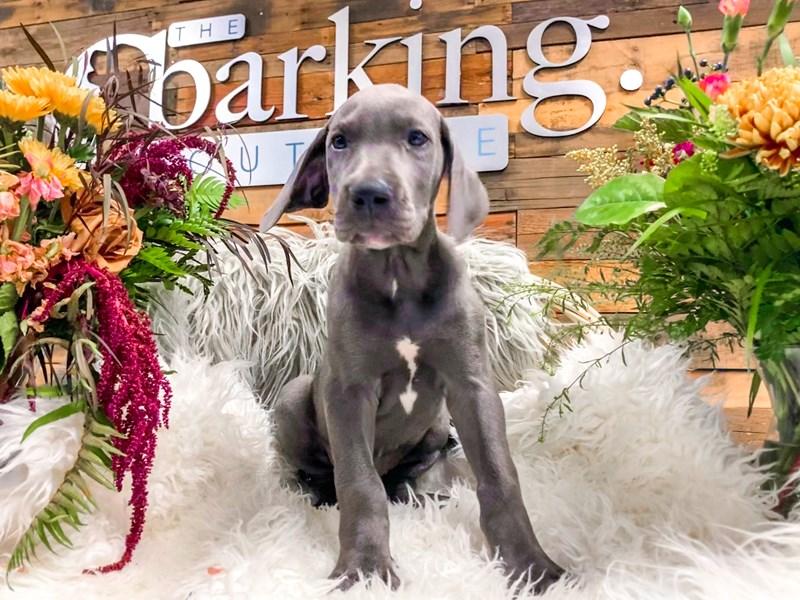 Great Dane-Female-Blue-2841383-The Barking Boutique