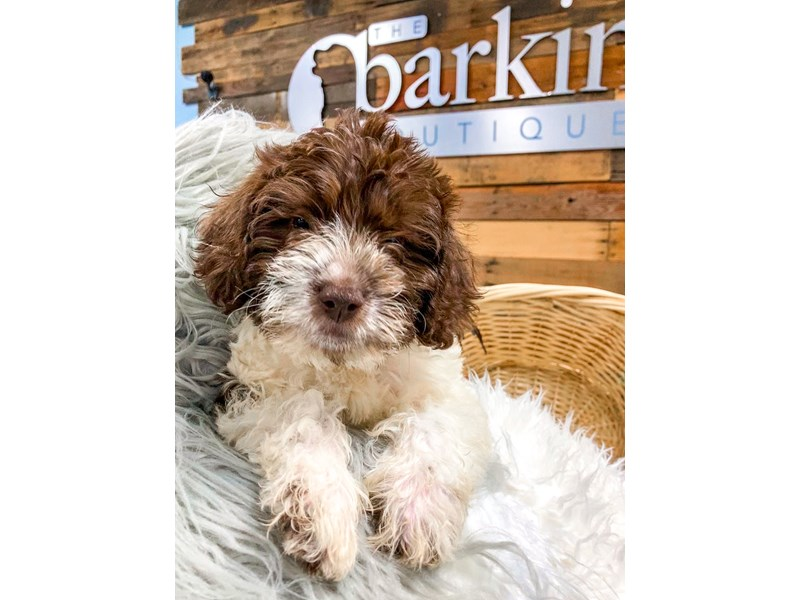 Labradoodle F1-B-Male-chocolate and white-2841340-The Barking Boutique