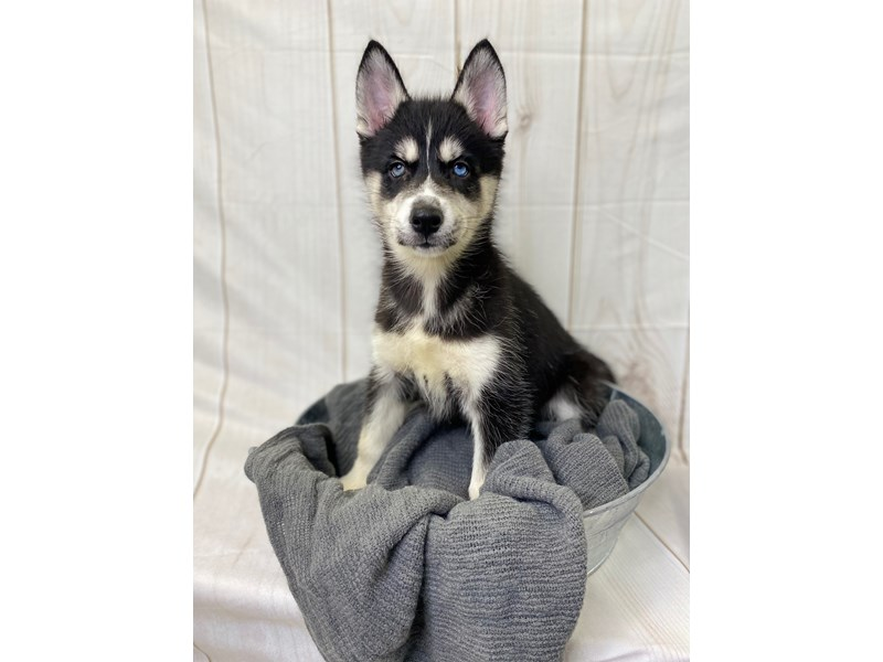 Siberian Husky-Female-Black and white-2841247-The Barking Boutique