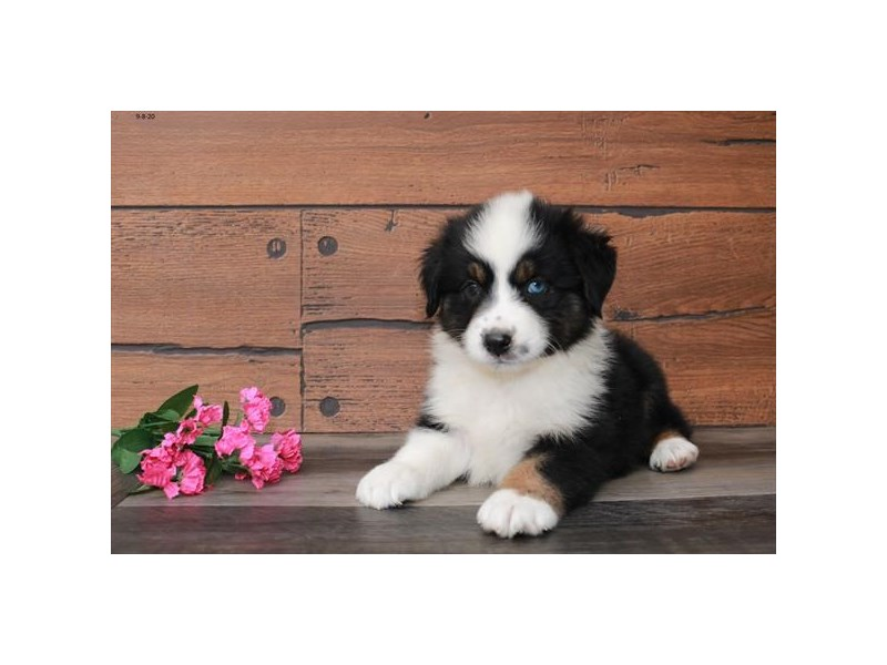 Australian Shepherd-Female-Black White / Tan-2843942-The Barking Boutique