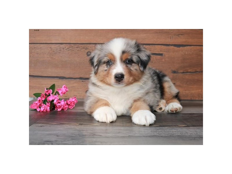 Australian Shepherd-Male-Blue Merle-2843946-The Barking Boutique