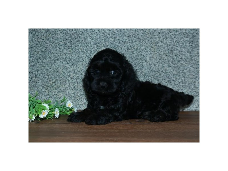 Cock A Poo 2nd Gen-Female-Black-2843963-The Barking Boutique
