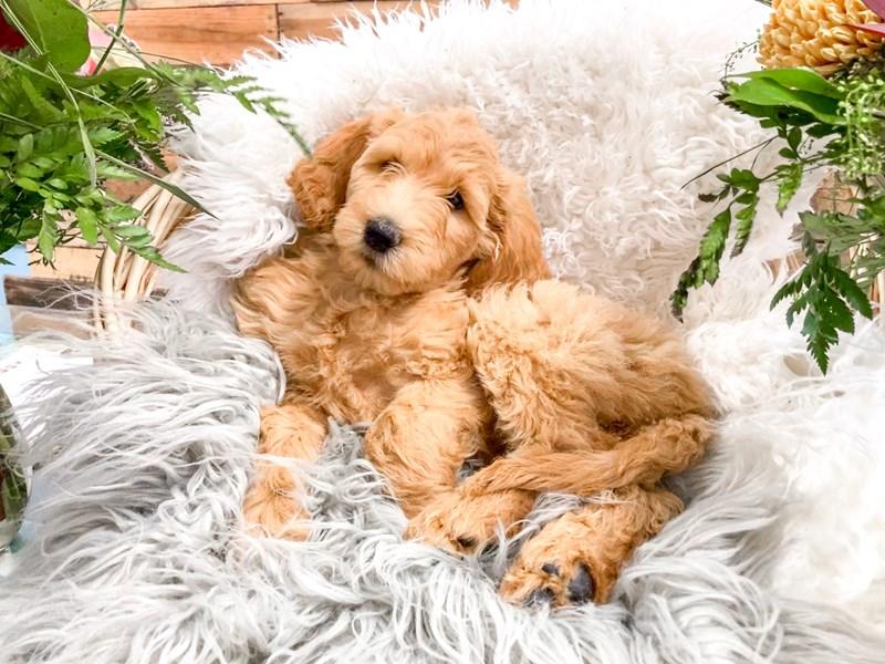 F1B Goldendoodle-Female-Cream-2843950-The Barking Boutique