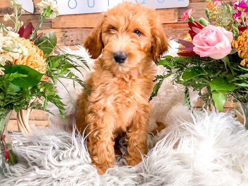 F1B Goldendoodle-Male-Cream-2843951-The Barking Boutique