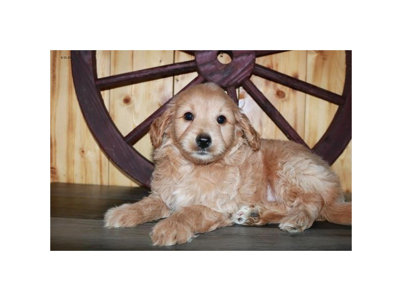 F1B Mini Goldendoodle-Male-Apricot-2851727-The Barking Boutique