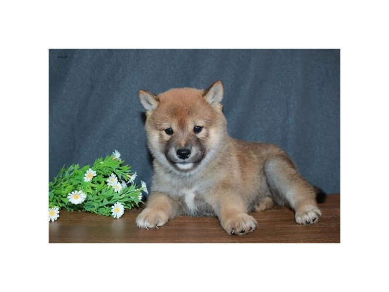 Shiba Inu-Male-Red-2851729-The Barking Boutique