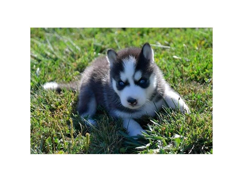 Siberian Husky – Apple