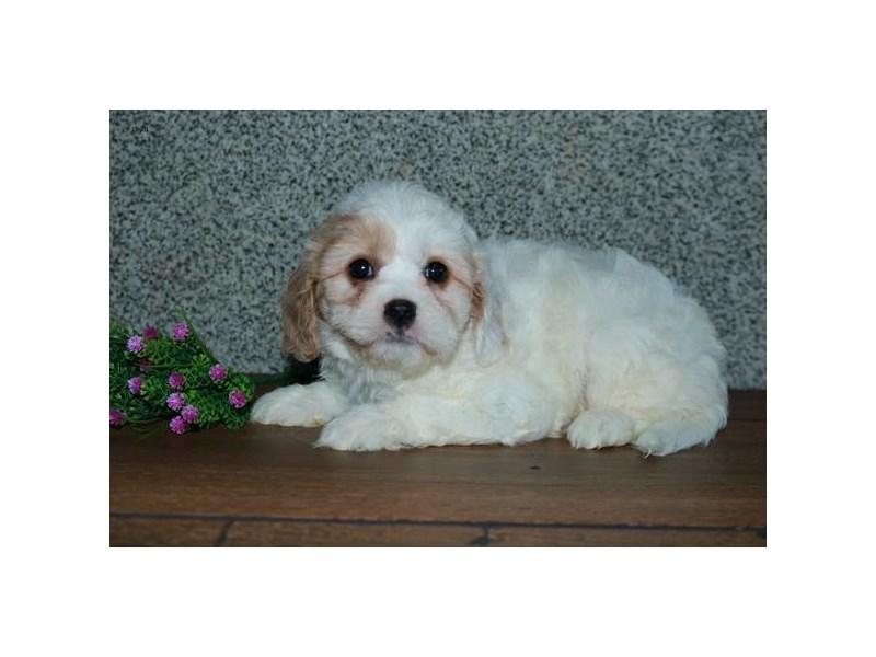 Cavachon-Female-Cream / White-2851734-The Barking Boutique
