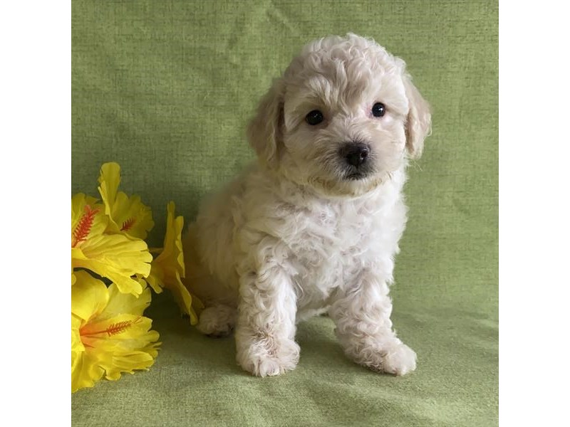 Poochon-Male-White-2851739-The Barking Boutique