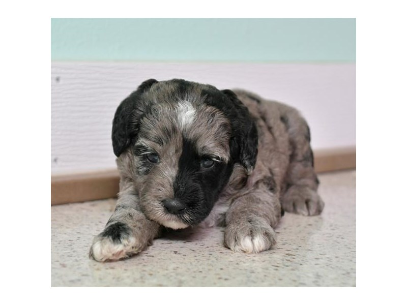 F1B Mini Labradoodle-Female-Blue Merle-2851772-The Barking Boutique