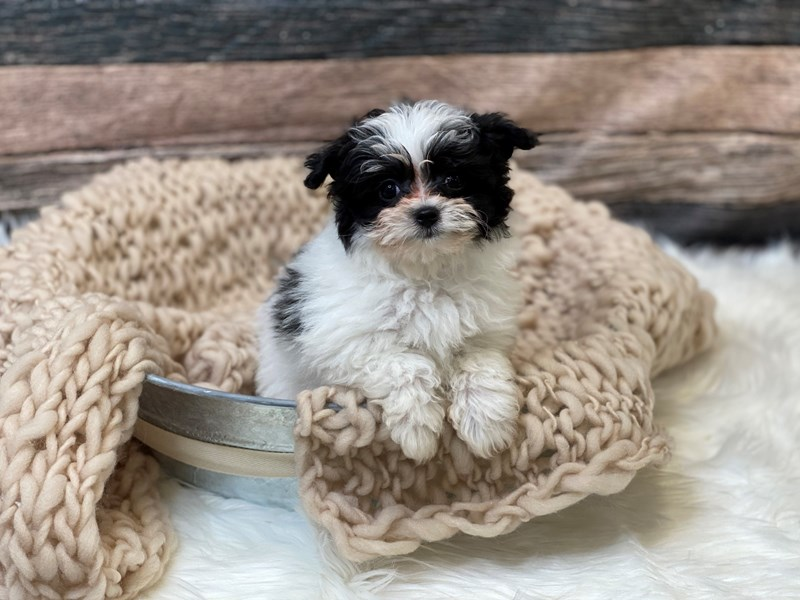 Pomapoo-Female-Black / White-2836400-The Barking Boutique