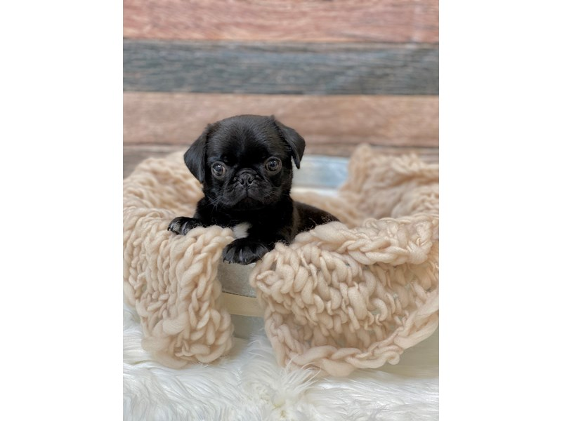 Pug-Female-Black-2836439-The Barking Boutique