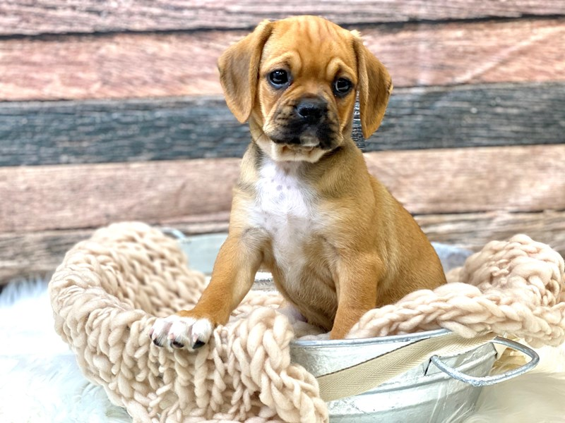 Puggle-Female-Fawn-2836451-The Barking Boutique