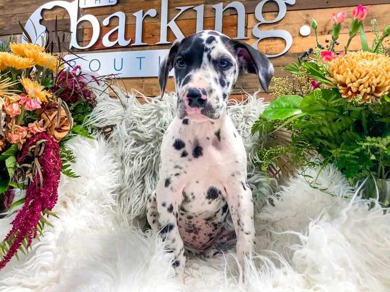 Great Dane-Female-Harlequin-2841379-The Barking Boutique