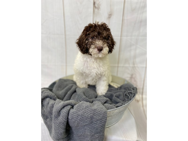 Labradoodle F1-B-Male-chocolate and white-2841344-The Barking Boutique
