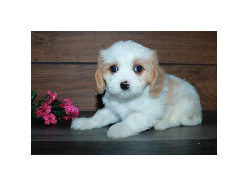 Cavachon-Female-Cream / White-2843956-The Barking Boutique