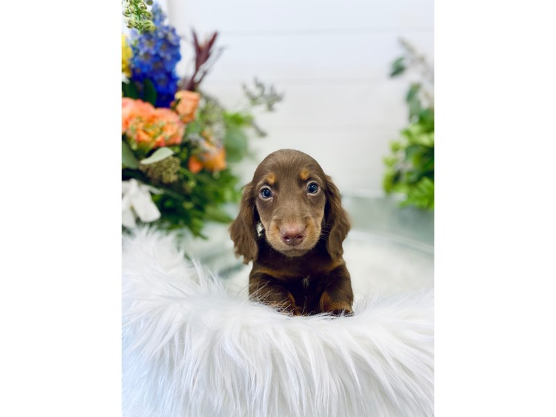 Dachshund-Male-Chocolate-2843952-The Barking Boutique