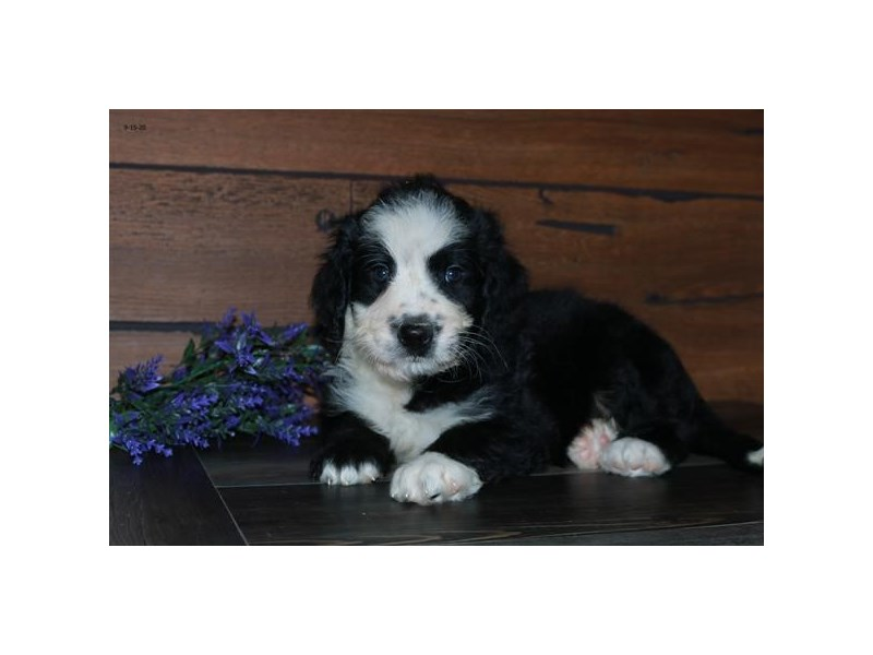 Bernadoodle-Male-Black Tan / White-2851728-The Barking Boutique
