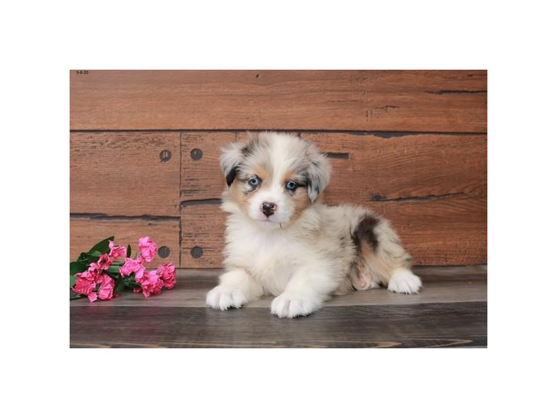 Australian Shepherd-Female-Chocolate Merle-2851732-The Barking Boutique