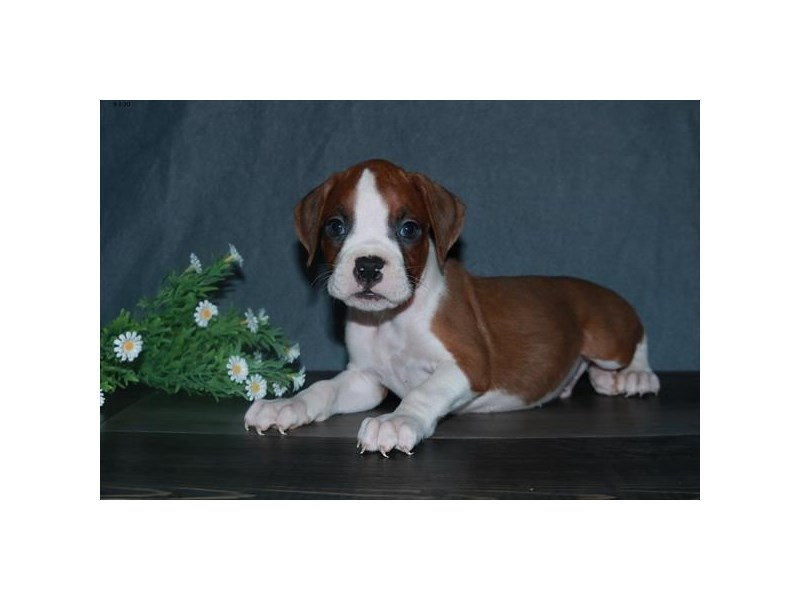 Boxer-Male-Fawn / White-2851737-The Barking Boutique