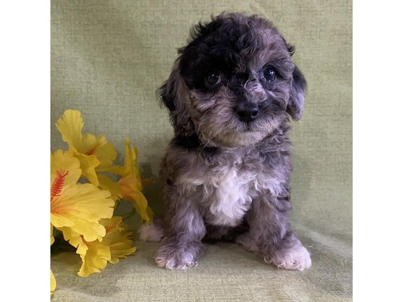 Poochon-Female-Blue Merle-2851738-The Barking Boutique