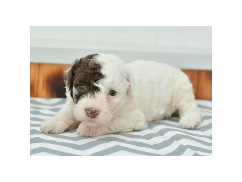 F1B Cockapoo-Female-Chocolate Merle-2851752-The Barking Boutique