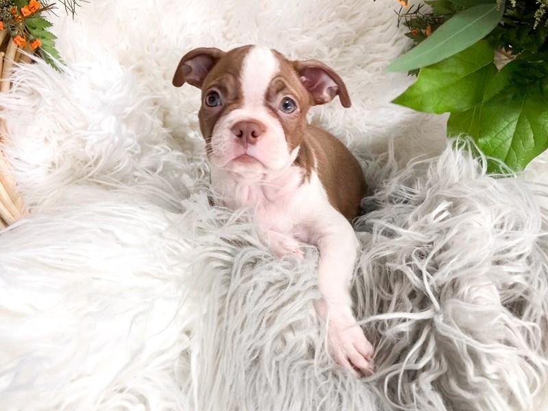 Boston Terrier – Miami